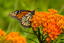 Vibrant Orange Petals Of A Flowering Plant Provide Nectar For A Monarch Butterfly