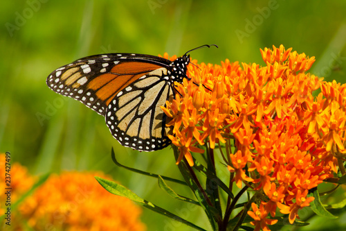 Vibrant orange petals of a flowering plant provide nectar for a monarch butterfl Tapéta, Fotótapéta
