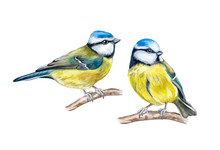 Eurasian Blue Tit Isolated On White Background. Birds Sitting On A Branch. Red Berries Rowans Or Mountain-ashes. Couple In Love. Watercolor. Illustration. Template. Close-up. Portrait.