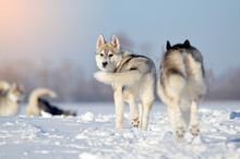 Dogs Pack Four Siberian Huskies Hawing Fun In Snow Puppy  Grey And White In Winter Meadow