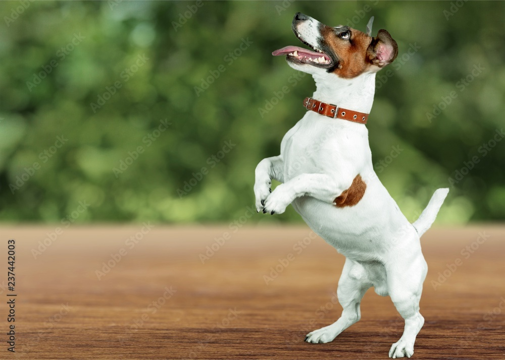 Fototapety, obrazy: Cute small dog Jack Russell terrier on white background