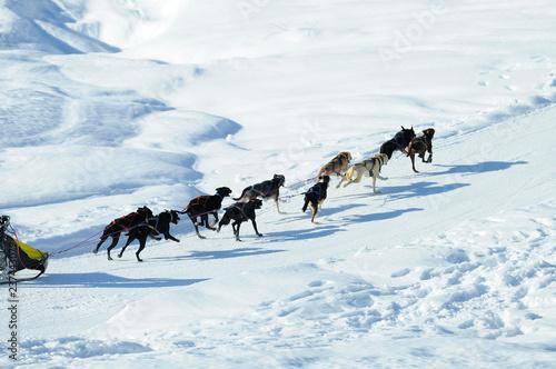 sled dogs running through deep snow