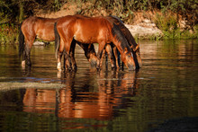Wild Horses Drinking In River