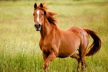 Senior Horse In Pasture
