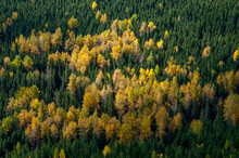 Larch Pines From Above