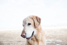 Goden Labrador Retriever