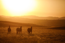 Silhouette Of Group Of Horse Standing On Grassy Landscape During Sunset