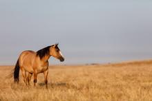 Buckskin Horse In Pasture