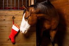 Horse Stealing Carrots From Christmas Stocking