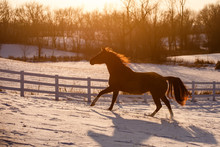 Horse Cantering In Winter Pasture
