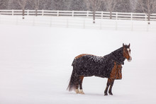 Blanketed Horse In Snow
