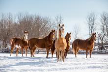 Herd Of Horse In Snow