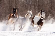 Herd Of Horses Running In Snow