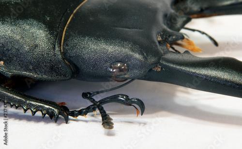 Macro large black beetle head Dorcus alcides - Buy this