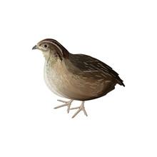 Bird Quail Vector