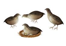 Quail Birds Set