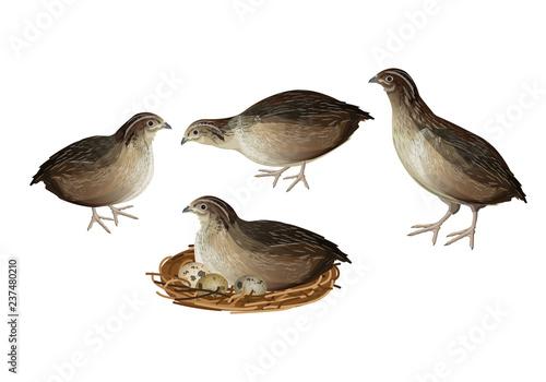 Quail birds set Canvas Print