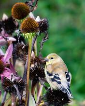 An American Goldfinch Feeding ...