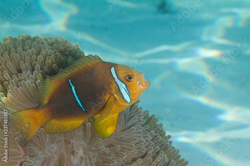 Fotografie, Tablou  Clownfish in Anemone in Bora Bora, French Polynesia