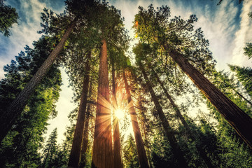 Izlazak sunca na Sequoias, Mariposa Grove, Nacionalni park Yosemite, Kalifornija
