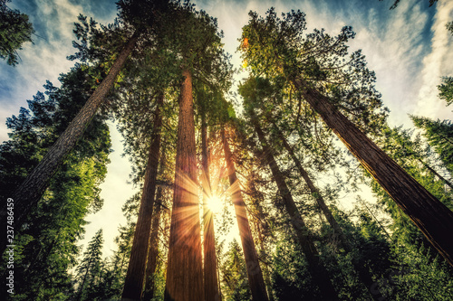 Sunrise on the Sequoias, Mariposa Grove, Yosemite National Park, California