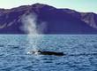 Whale diving on the Iceland coast near Husavik