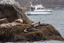 Wild Sea Lions Laying On The Rocks In Kenai Fjords National Park In Alaska.