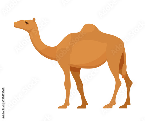 Egyptian camel in full growth. Mammal, camel, animal with hooves. Wallpaper Mural