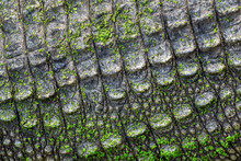 Crocodile Skin Pattern For Background.