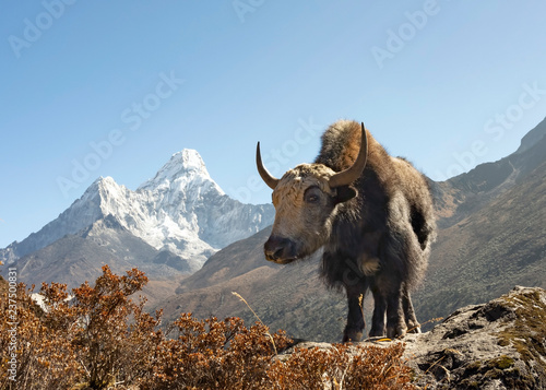 Young Yak Calf is a poser already with Ama Dablam on the background Canvas Print