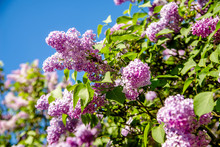 Pink Lilac Blooms In The Botan...