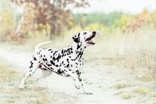 Dalmatian Dog Playing On Golden Autumn Background