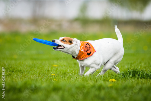 Fotografie, Obraz  Jack Russell Terrier catching frisbee disk