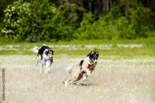 Valokuvatapetti Russian wolfhounds lure coursing competition at the field