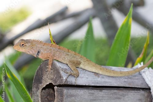 Photographie  Wild lizard in Thailand close-up