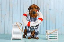 Rhodesian Ridgeback Dog-sailor With Lifebuoy Around Its Neck