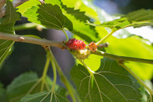 Mulberry, Mulberry Natural, Focus Mulberry On Branch With Leafs, Mulberry With Bokeh Background. Fresh Organic Mulberry Fruit.