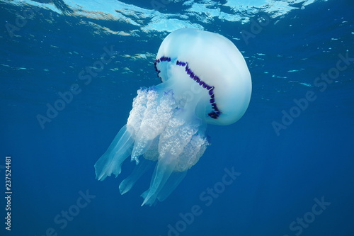 A barrel jellyfish, Rhizostoma pulmo, underwater in the Mediterranean sea, Medes Islands, Costa Brava, Spain