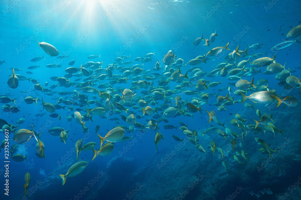 School of fish salema porgy, Sarpa salpa, with sunlight underwater in the Mediterranean sea, Port-Cros, Hyeres, Cote d'Azur, France