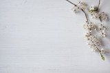 Background with blossoming spring cherry plum branch