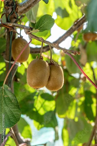 ripe kiwi hanging on a tree