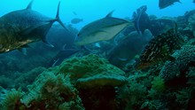 A School Of Fish From Longfin ...