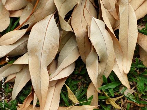 Valokuva  dry eucalyptus leaf