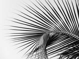 piękny palma liść na białym tle - 237550213