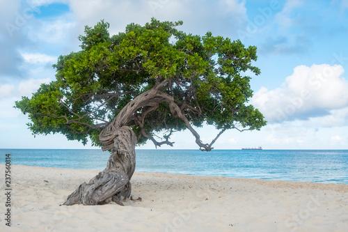 Divi Divi Tree of Eagle Beach Aruba Canvas Print