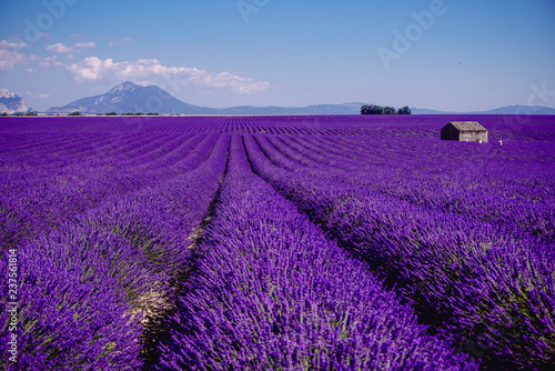 Poster Violet Lavender field - Valensole, France - So violet! Enjoy active summer on the lavender field. One touristic place is in Valensole, France. So impressive! nThe violet everywhere!