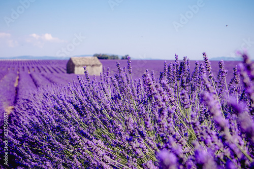 Poster Lavendel Lavender field - Valensole, France - So violet! Enjoy active summer on the lavender field. One touristic place is in Valensole, France. So impressive! nThe violet everywhere!