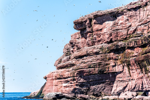 Fotografie, Obraz  Flock of gannet birds perched and flying by Bonaventure island cliff in Perce, G