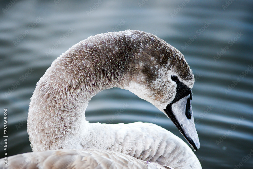 Portrait of a young gray swan swimming on a lake in Poland.
