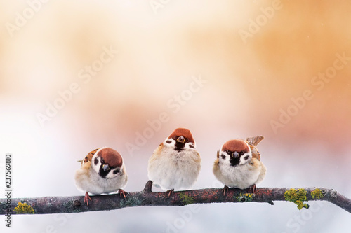 Foto op Plexiglas Vogel three little chubby funny baby birds Sparrow sitting on a branch in the garden on a Sunny winter day